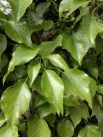 Efeu hedera helix - Efeu zimmerpflanze giftig ...